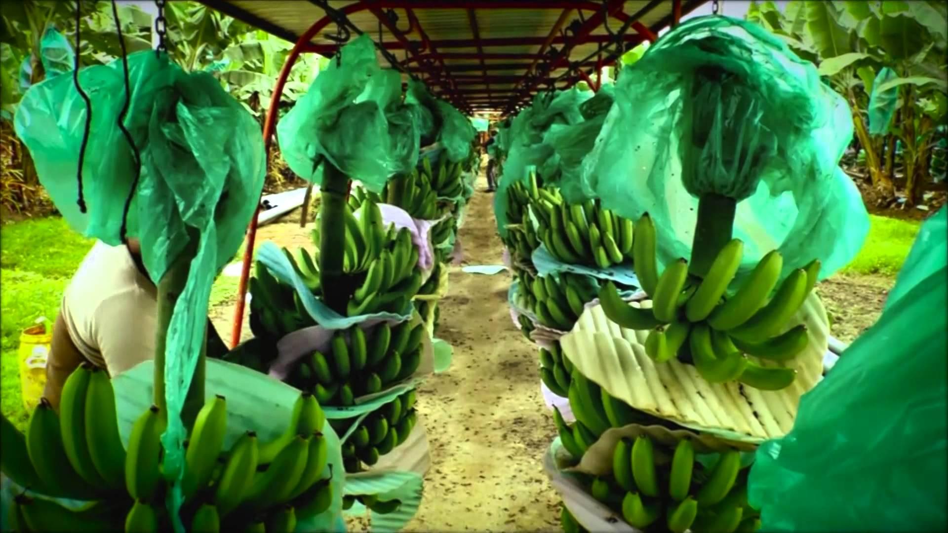 crise anglophone impact banane