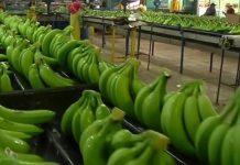 Les-bananes-du-Cameroun