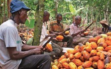 Cacao Cameroun