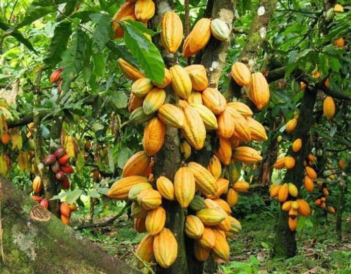 culture-du-cacao