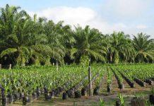 Palmier à huile